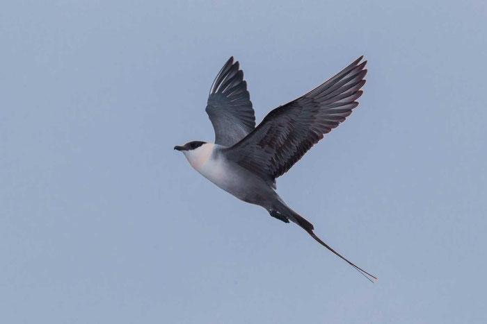Helle Morphe der Falkenraubmöwe (Stercorarius longicaudus)