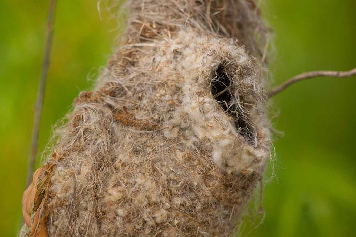 Nest einer Beutelmeise (Remiz pendulinus)