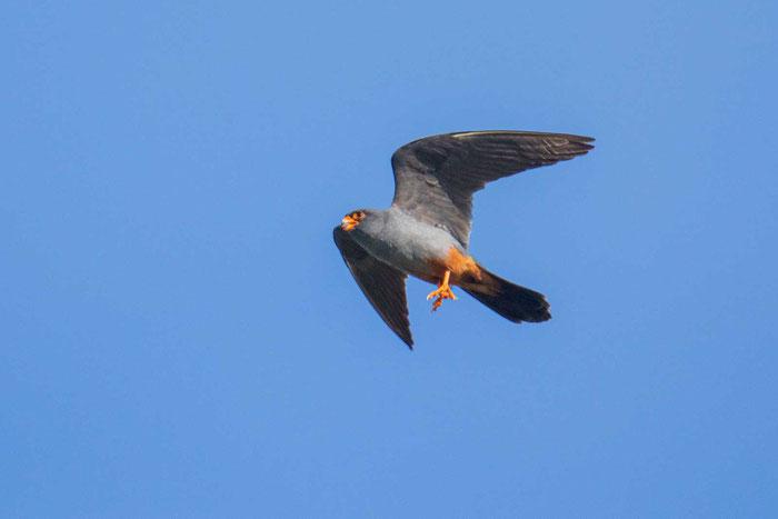 Männlicher Rotfußfalke (Falco vespertinus) bei der Insektenjagd.