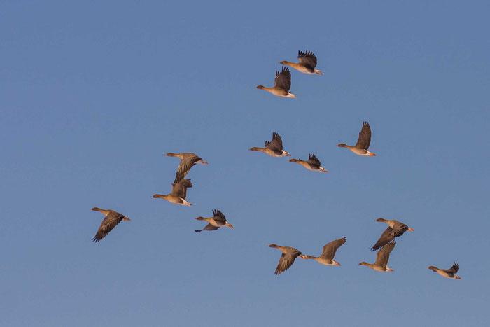 Fliegende Tundrasaatgänse als Wintergast im Vogelschutzgebiet Amöneburger Becken.