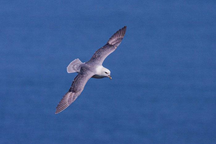 Fliegender Eissturmvogel vor der Steilküste von Helgoland.