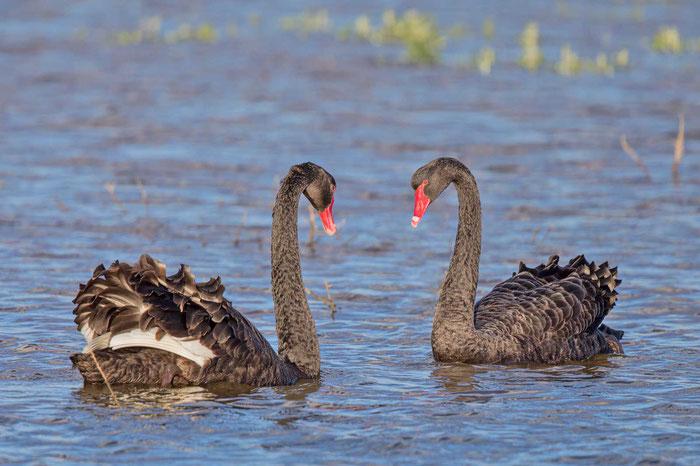 Trauerschwanpaar (Cygnus atratus) bei der Balz