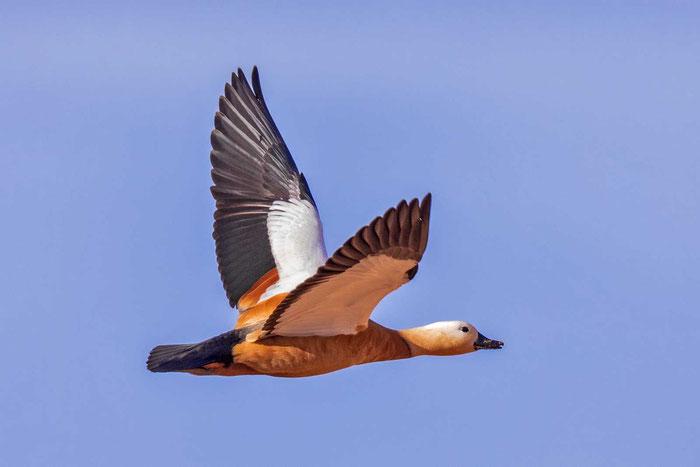 Fliegende Rostgans auf Fuerteventura