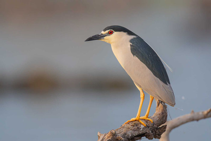 Adulter Nachtreiher (Nycticorax nycticorax)