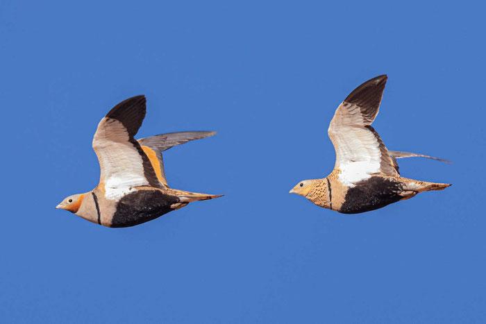 Männliches und weibliches Sandflughuhn (Pterocles orientalis)