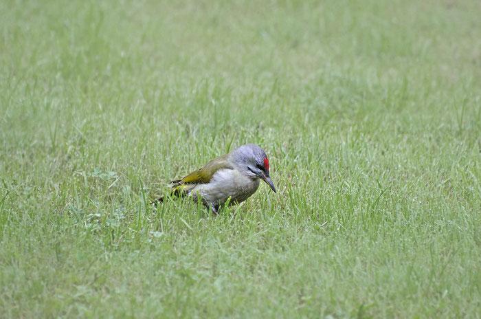 Grauspecht (Picus canus), Foto: Viola Wege