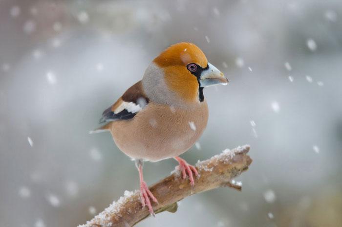 Kernbeißer (Coccothraustes coccothraustes) im Schnee; Foto: Viola Wege