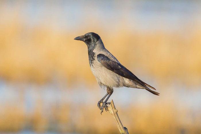 Nebelkrähe (Corvus corone)
