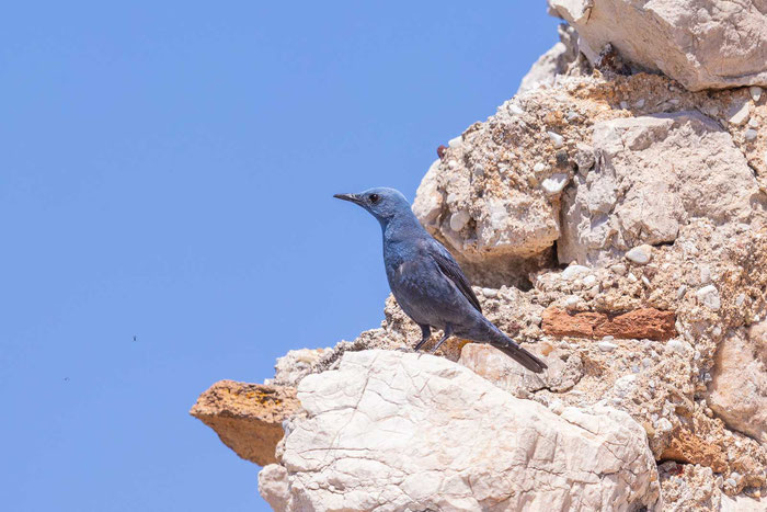 Männliche Blaumerle (Monticola solitarius)