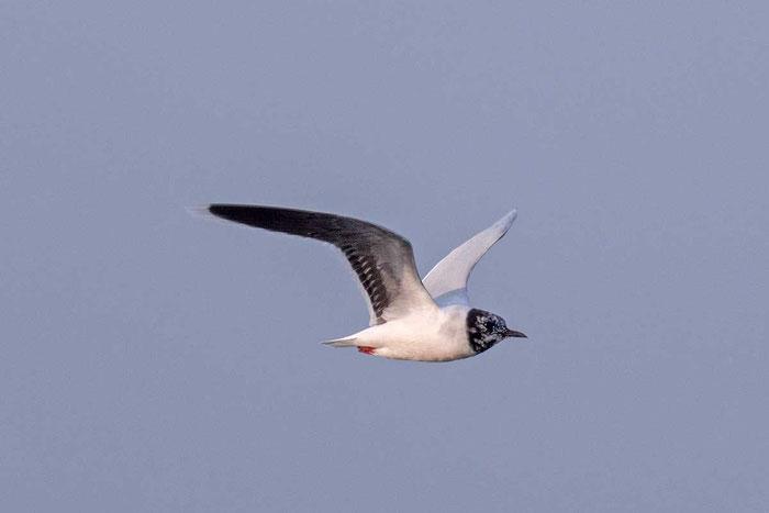 Zwergmöwe (Hydrocoloeus minutus) im Flug