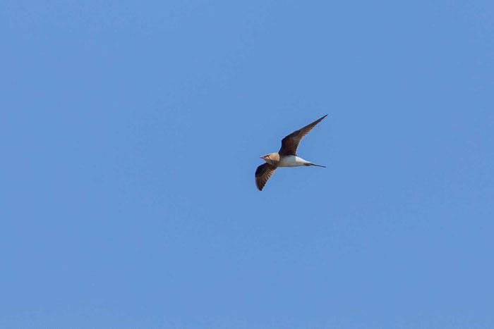Rotflügelbrachschwalbe (Glareola pratincola)