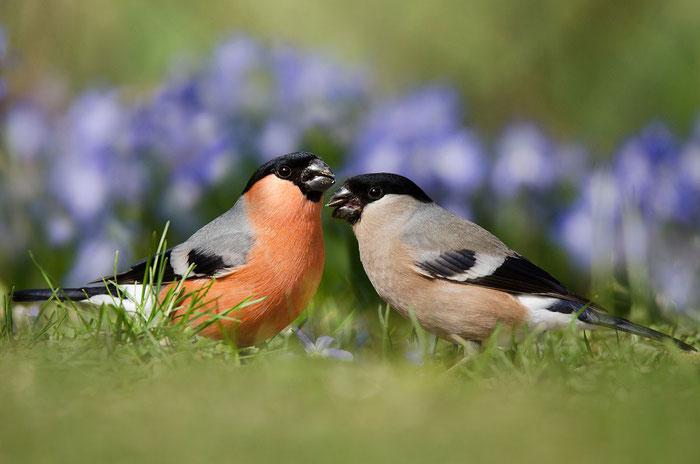 Gimpel (Pyrrhula pyrrhula), Männchen und Weibchen. (Foto: Viola Wege)