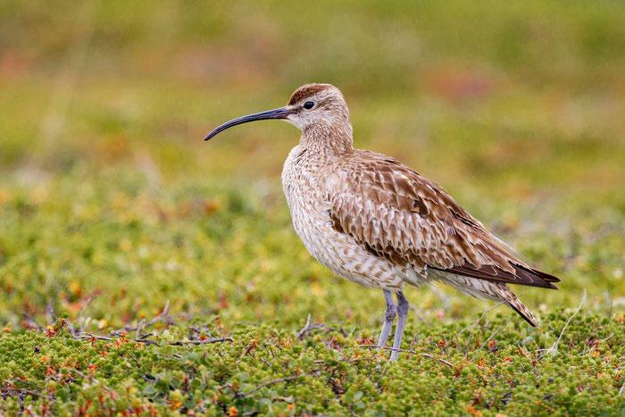 Regenbrachvogel (Numenius phaeopus) in der Tundra Norwegens.