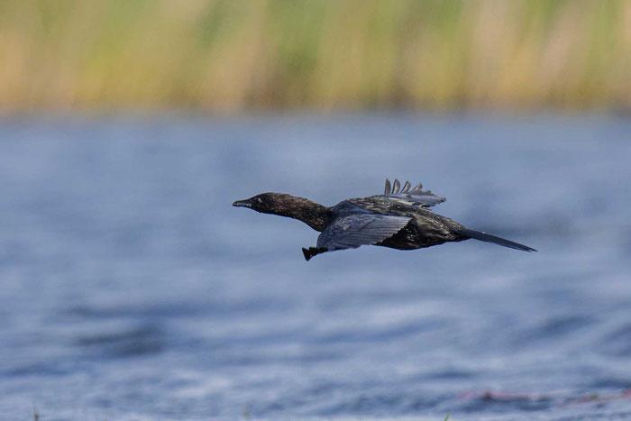 Fliegende Zwergscharbe (Microcarbo pygmaeu) im Donaudelta.