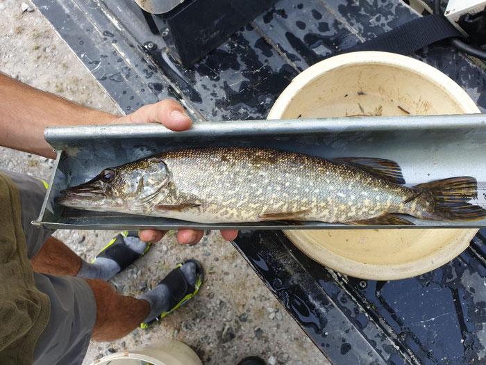 Brochet hybride capturé en pêche électrique sur la commune d'Artiguelouve.