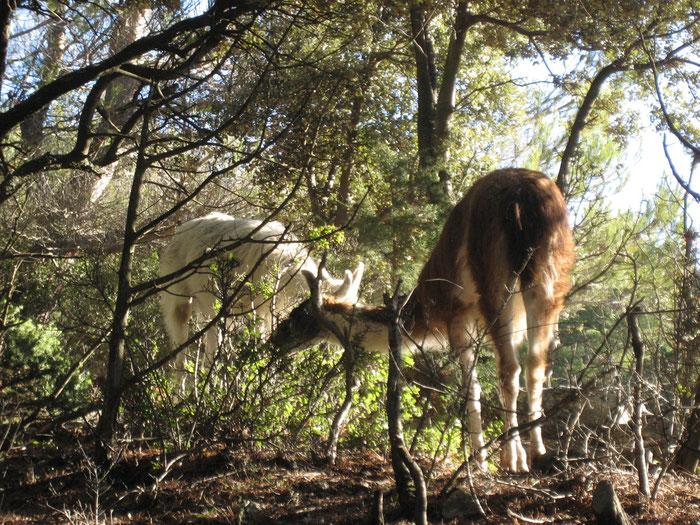 les lamas en pleine action de débroussaillement