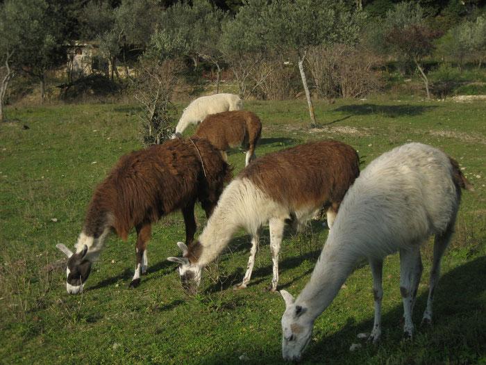 C'est l'automne, les lamas broutent encore quelques brins d'herbe avant l'assaut de l'hiver.