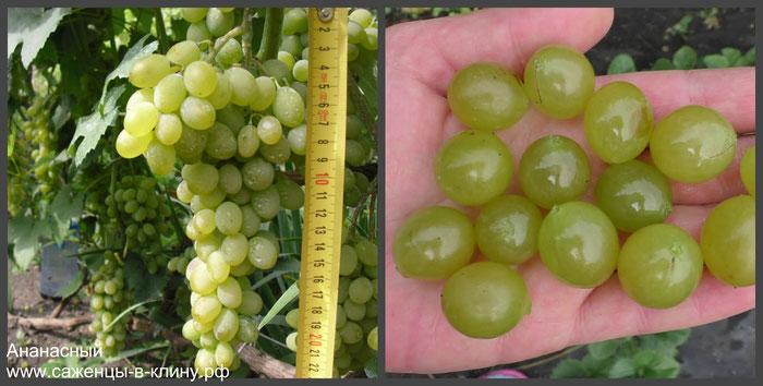 саженцы винограда Ананасный в Клину