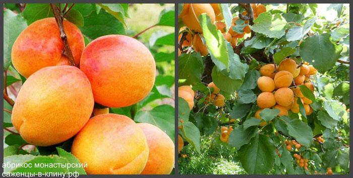 абрикос монастырский питомник елино мо