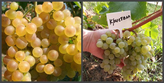 виноград Кристалл в Клину