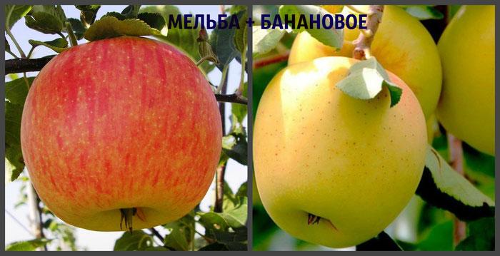 многосортовые яблони в Клину