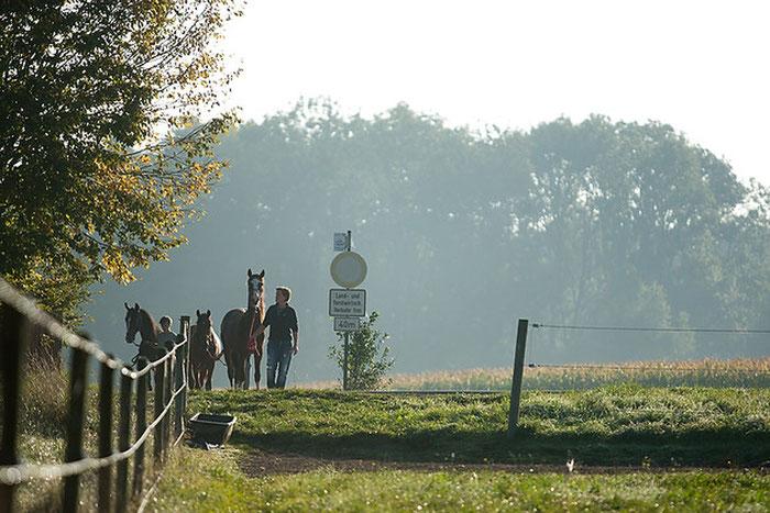 Ausbringen der Pferde auf die Kopppeln
