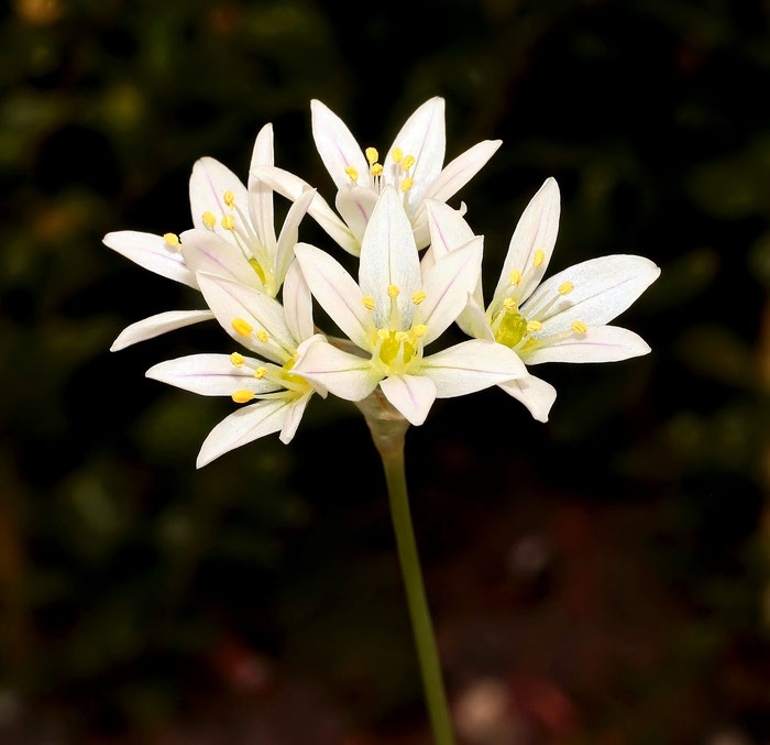 Allium massaessylum