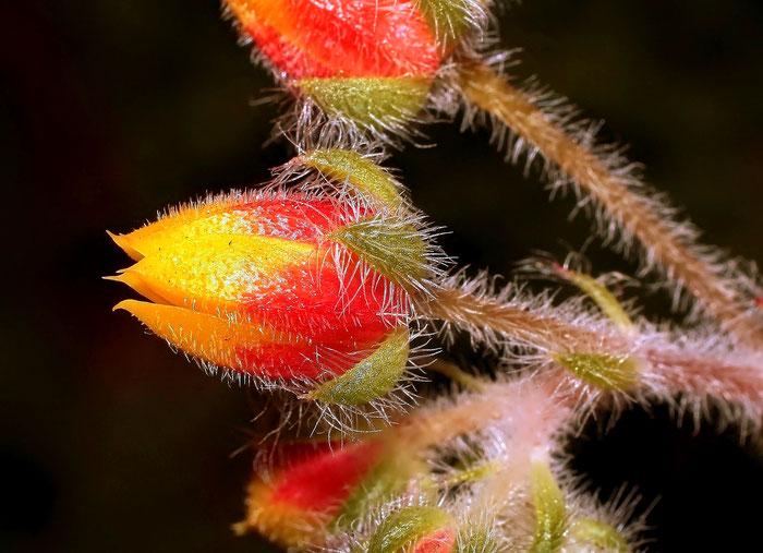 Echeveria setosa var. ciliata