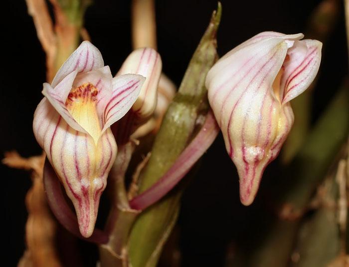 Acanthophippium striatum