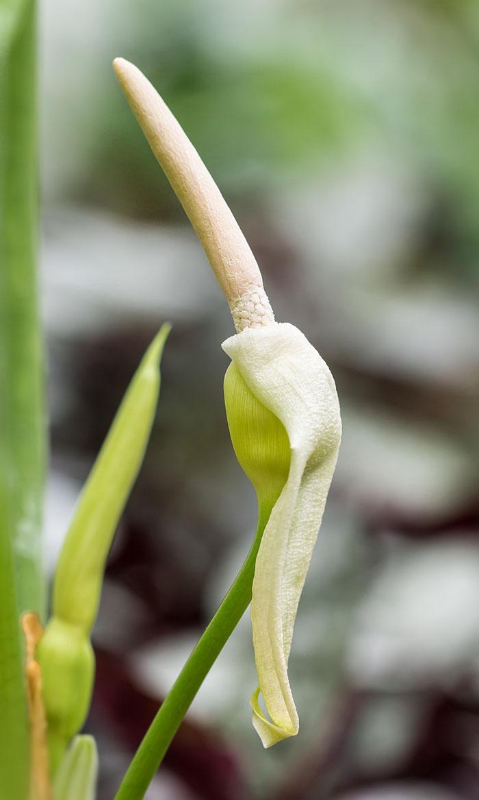 Alocasia clypeolata