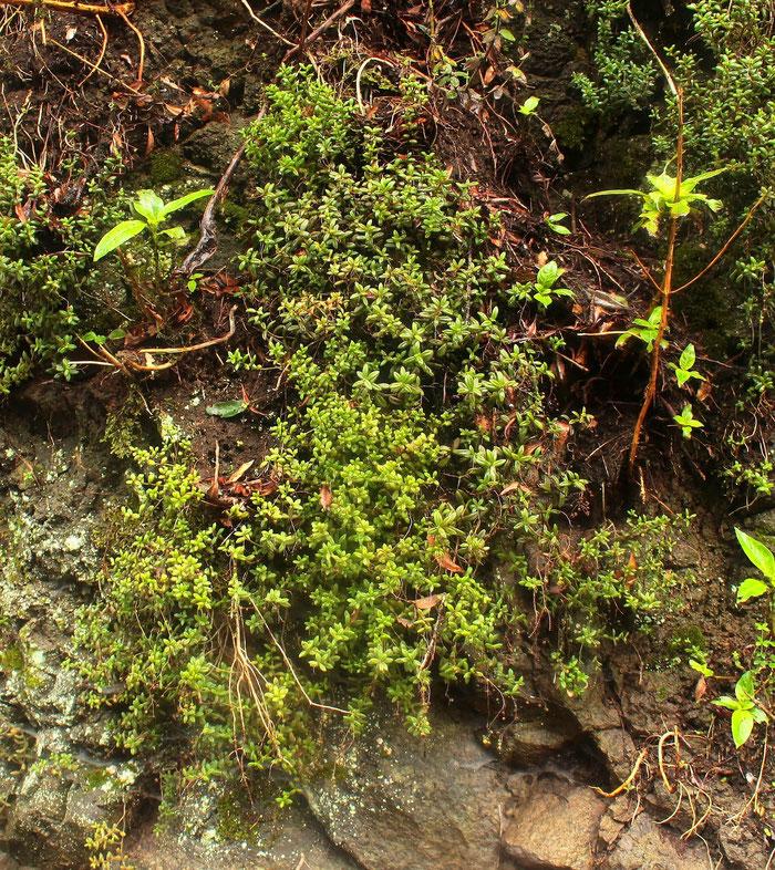 Monanthes laxiflora Standort