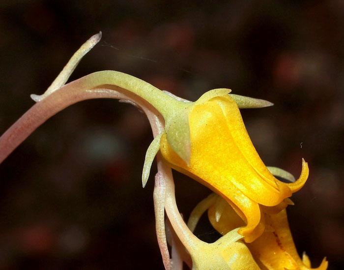 Echeveria pulidonis