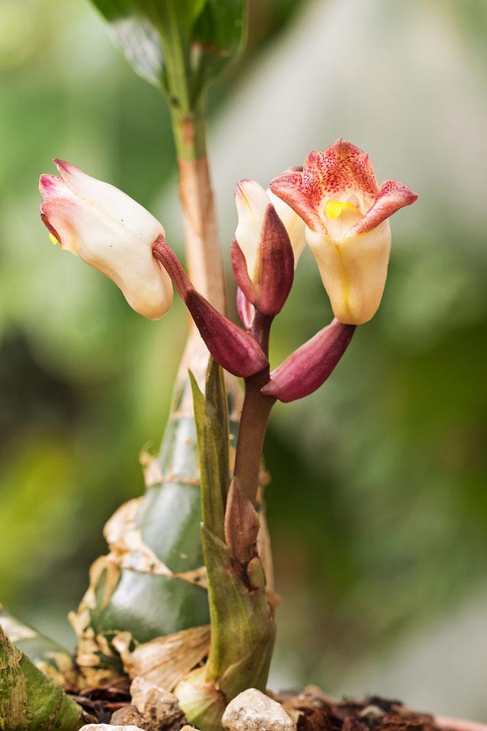 Acanthophippium sylhetense