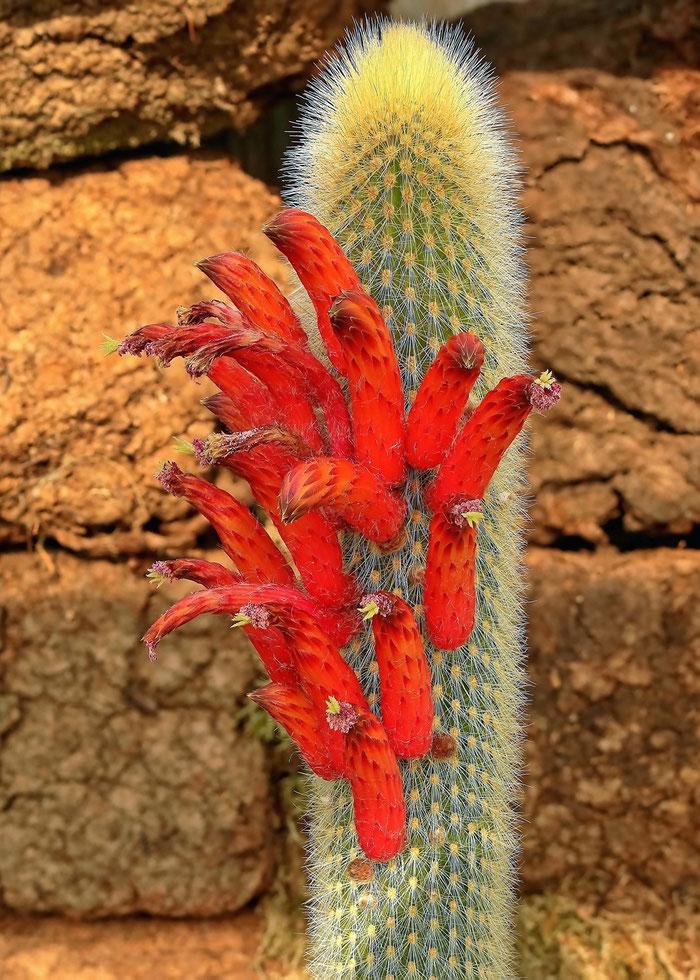 Cleistocactus brookeae