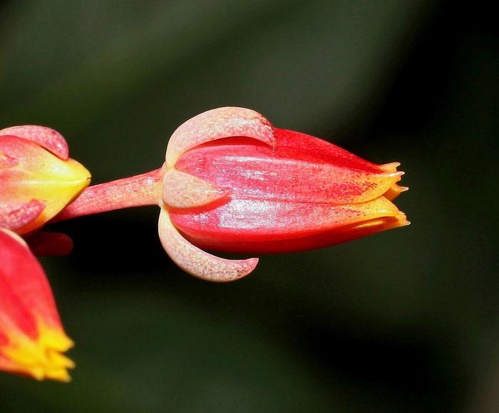 Echeveria subcorymbosa