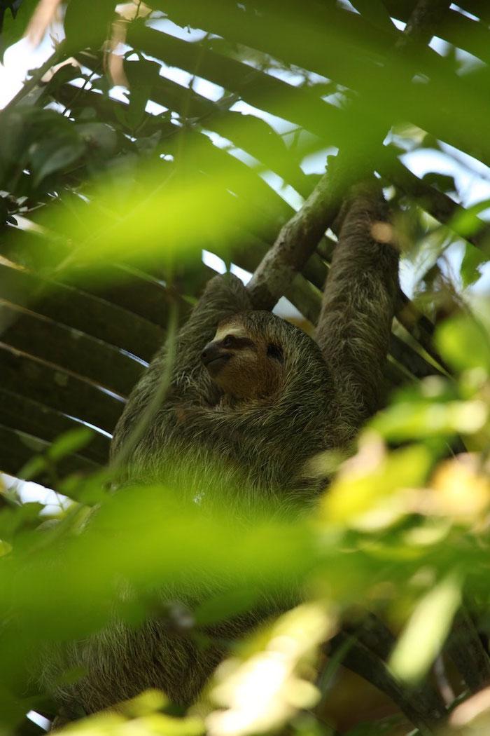 Mama Faultier hängt kopfüber am Baum und Baby Faultier genießt den Ausblick (Bild ist speziell für Emilia, eine unserer treuesten Leserinnen)