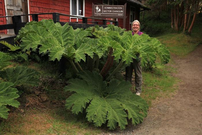 Diese Pflanze wächst hier überall und wird - wie man sehen kann - ganz schön groß !