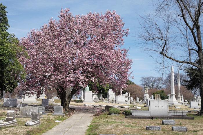 Frühlingserwachen auf dem Elmwood-Friedhof in Memphis