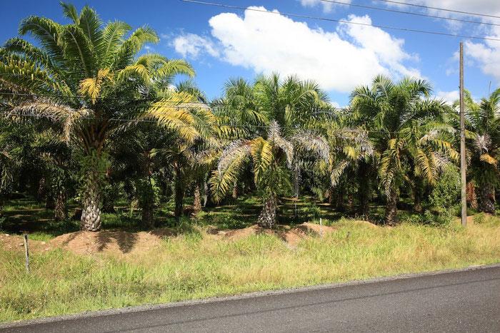 Statt Regenwald säumen kilometerlange Palmölplantagen unseren Weg.