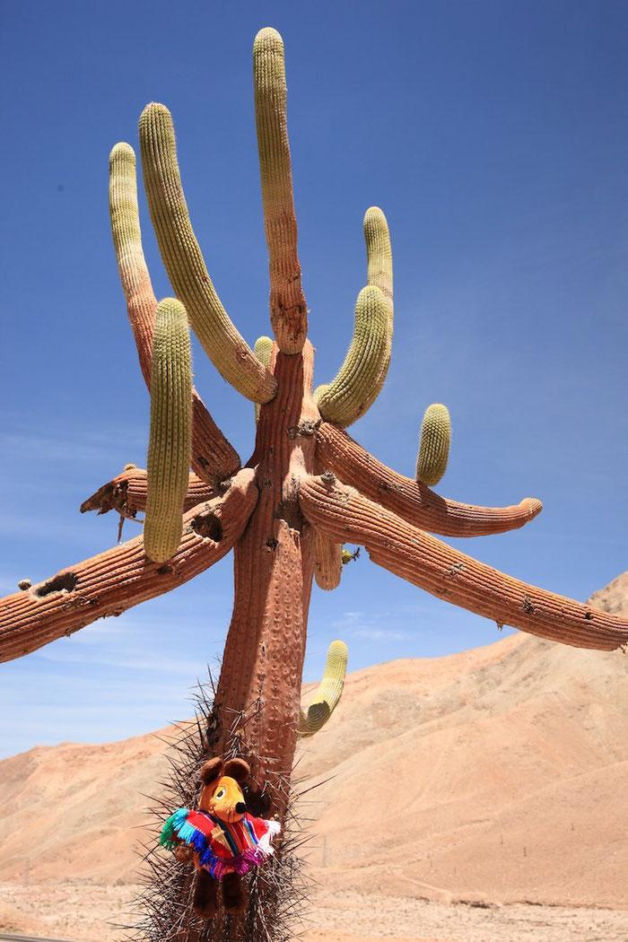 Die Stacheln waren ganz schön spitz, aber wann habe ich schon einmal die Gelegenheit, einem Kaktus so nahe zu kommen ?