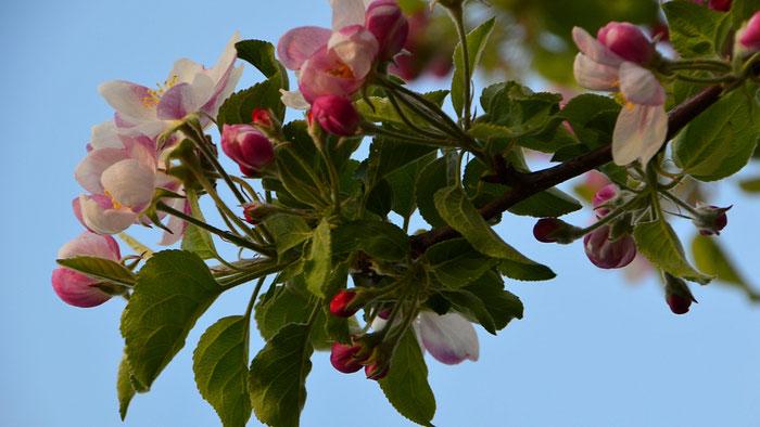 Blühende Kirschbäume läuten das Obstbaujahr auf unserem Betrieb ein.