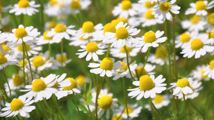 Die Pflanzenheilkunde ist eine geniale Möglichkeit, Körperfunktionen zu unterstützen sowie bestimmte Krankheitszustände in ihrem Heilungsverlauf zu unterstützen