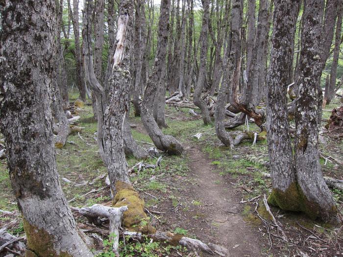 Pristine Lenga forest, Reserva Nacional Cerro Castillo
