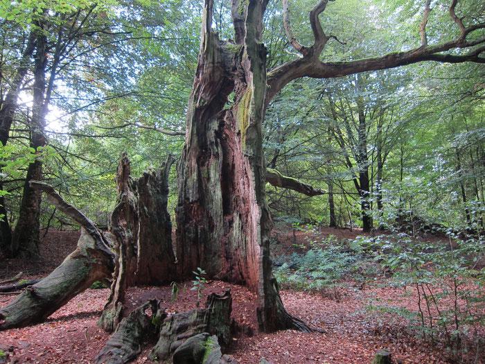 Dead giant tree, Urwald Sababurg, Reinhardswald