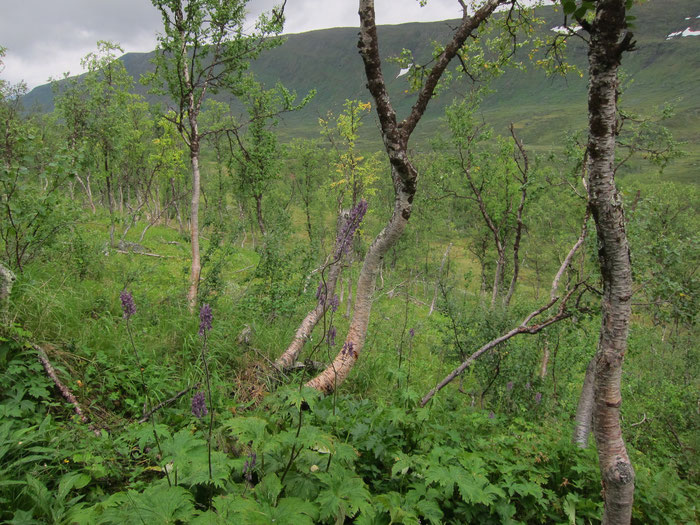 Birch forest between Tarraluoppal and Sammarlappa, Tarradalen, Padjelantaleden