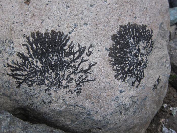 Plant imprints, Reserva Nacional Cerro Castillo