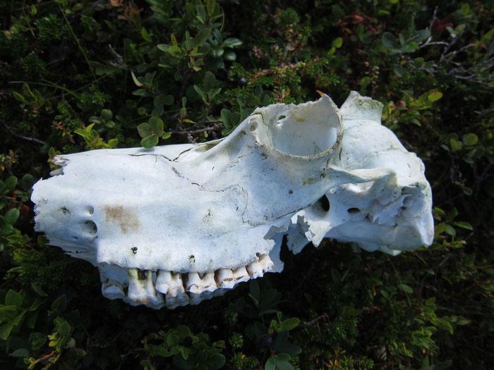 Reindeer skull
