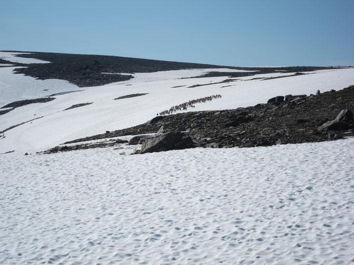 Reindeers hiding on the snowfields, Sarek