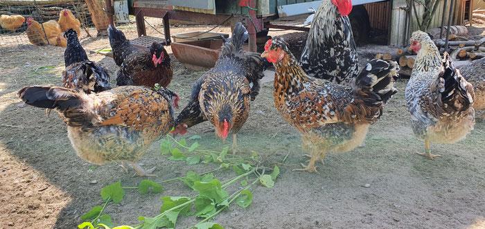 Bruteier; Schwedische Blumenhühner; Küken; Hühner