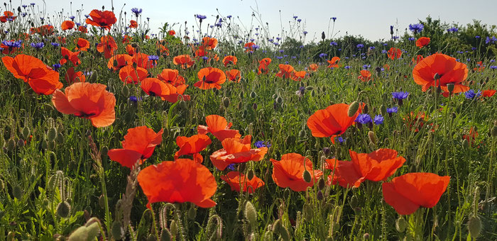 Mohn; Wildblumen; Insekten; Ackerrandstreifen